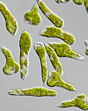 phototaxis in euglena gracilis One of the model systems for the study of this phenomenon is euglena gracilis, a  unicellular, photosynthetic flagellate euglena uses different environmental.